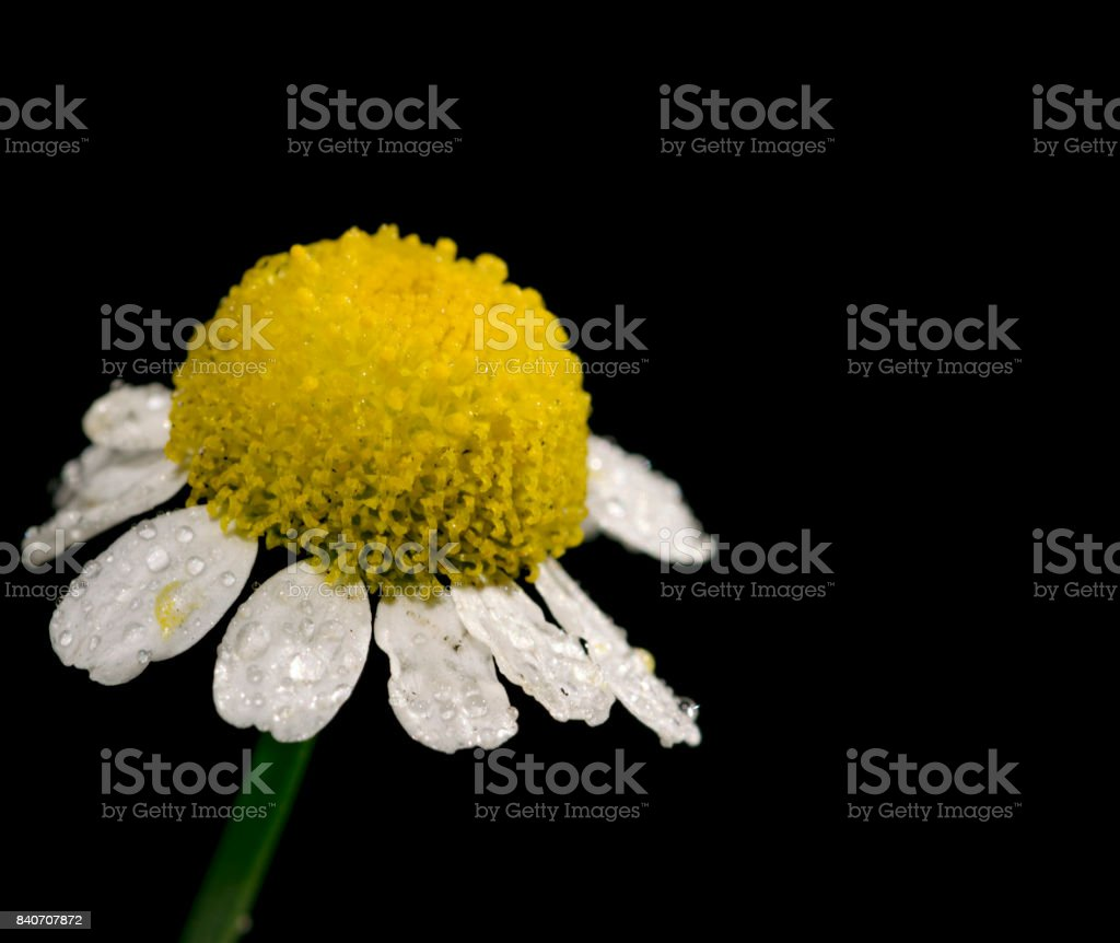 Beautiful Small Flower With Yellow Center And White Petals Green