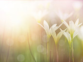 Beautiful small flowers with foggy after raining. Field of Zephyr lily flowers and green leaves. Floral abstract background.