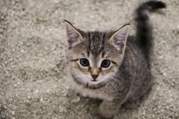 schöne kleine graue Kätzchen sitzt im Sand in der Katze toilettet und nach oben schauen – Foto