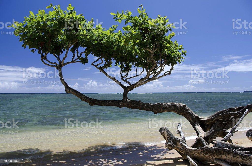 Beautiful  small heliotrope tree cast stock photo