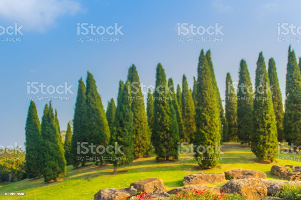 Beautiful Small Hill Landscape With Tall Pine Trees On Green Grass Field And Blue Sky White Cloud Background Juniperus Chinensis Pine Trees On The Small Green Hill With Blue Sky And White