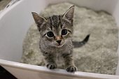 istock beautiful small kitten is standing in the cat toilet and looking up to the camera 1168168122