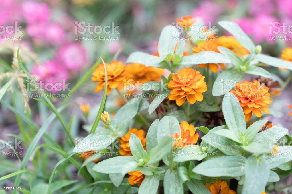 Beautiful small orange flowers. royalty-free stock photo