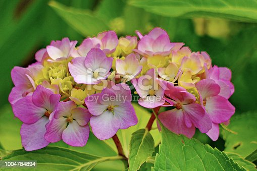istock Beautiful small petals of pink flowers with yellow center and green leaves 1004784894