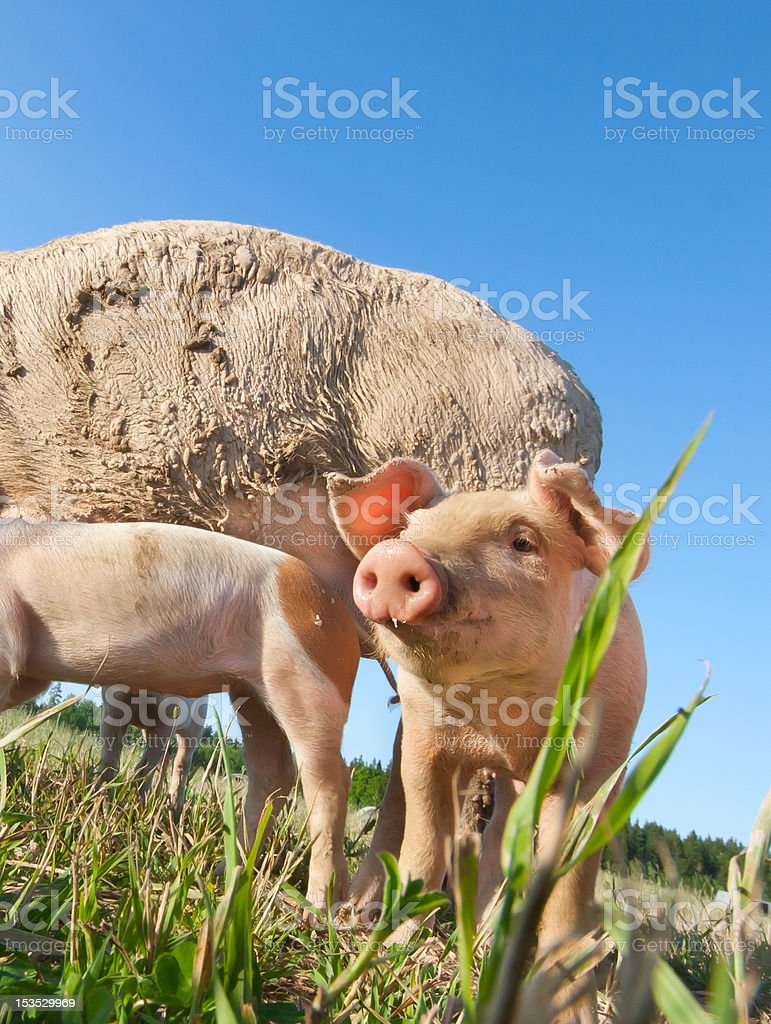 Beautiful small pig standing on a field stock photo