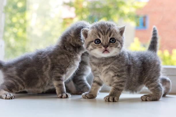 Beautiful small striped kittens on window sill scottish fold breed picture id546774826?b=1&k=6&m=546774826&s=612x612&w=0&h=lyshejtxpwdc 7vv9qg bmho6mzgghuxalorqkbivhq=