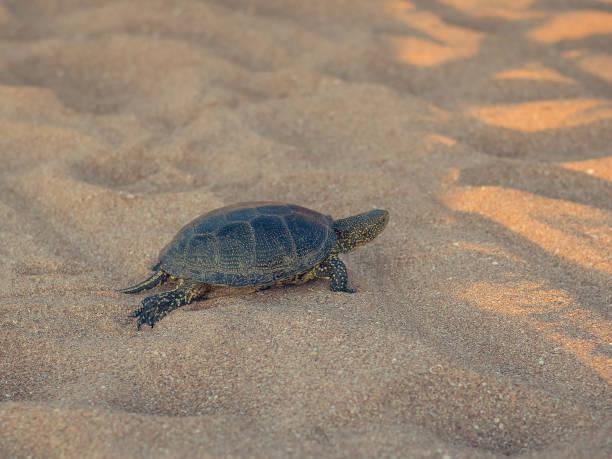 schöne kleine schildkröte kriecht auf dem sand am meer. - babyschildkröten stock-fotos und bilder