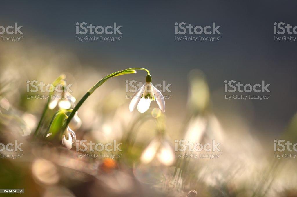 Beautiful snowdrop flowers (Galanthus nivalis) stock photo