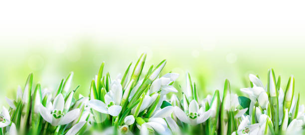 beautiful snowdrops flower blossom isolated on white panorama background. spring nature. greeting card template. soft toned. - snowdrops stock photos and pictures