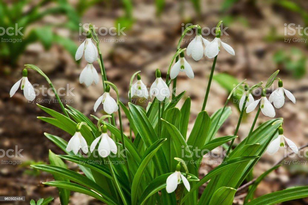 Snowdrops belas floresta Primavera - Foto de stock de Beleza royalty-free