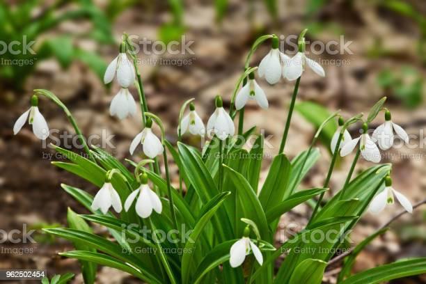 Foto de Snowdrops Belas Floresta Primavera e mais fotos de stock de Beleza