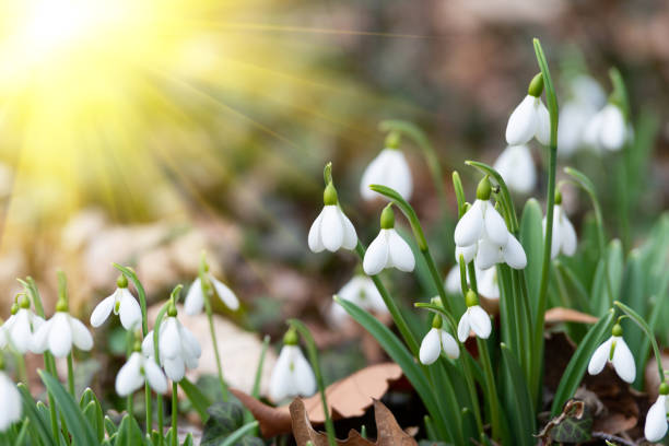 beautiful snowdrops - snowdrops stock photos and pictures