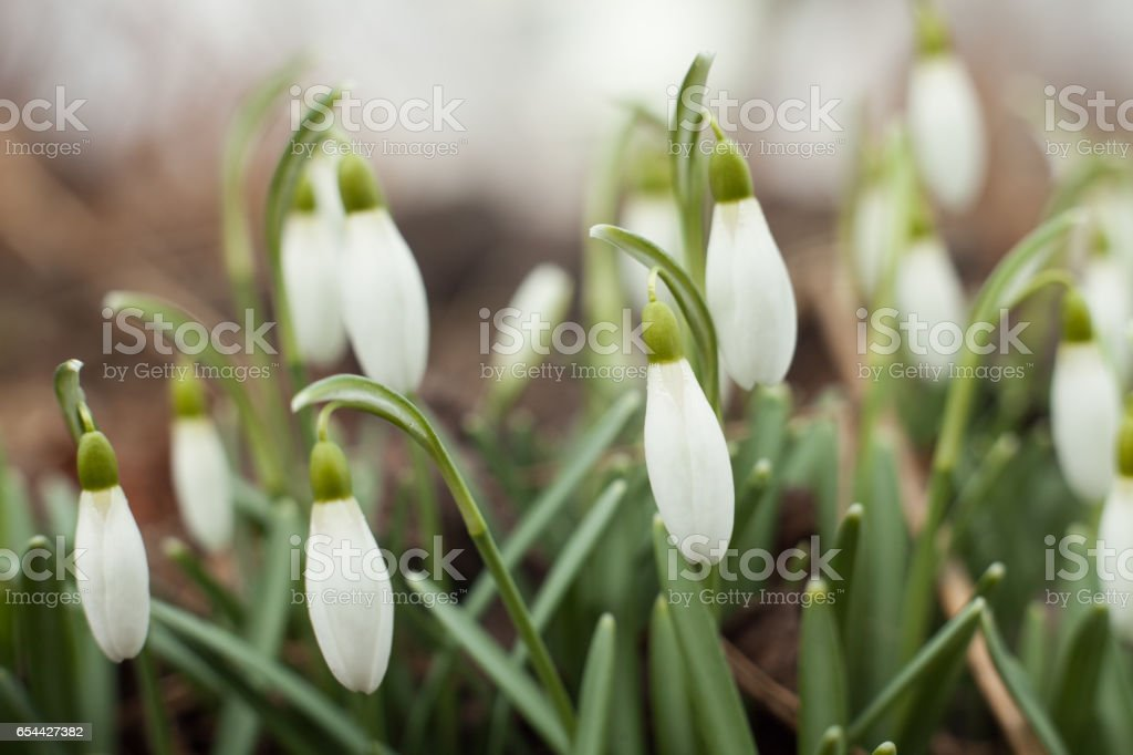 Beautiful snowdrops. The first sign of spring. The snow-white flowers in the shape of a bell. – zdjęcie