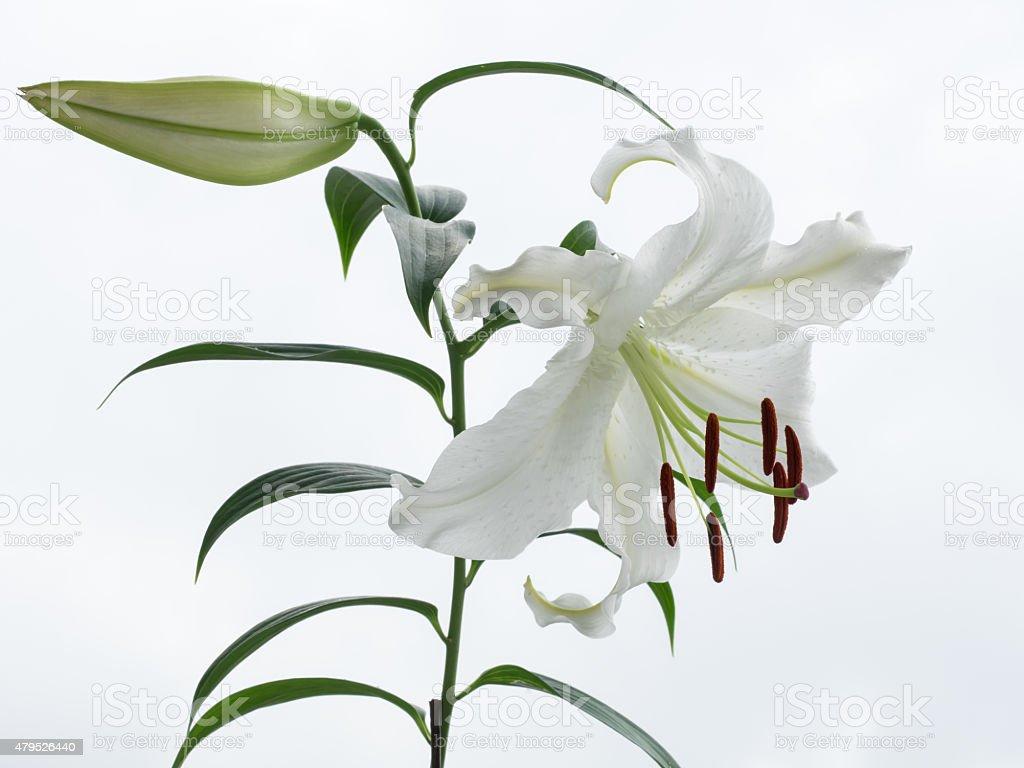 Schöne Schneewittchen-orientalische Lily – Foto