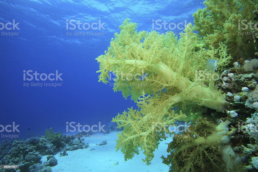 Beautiful Soft Coral royalty-free stock photo