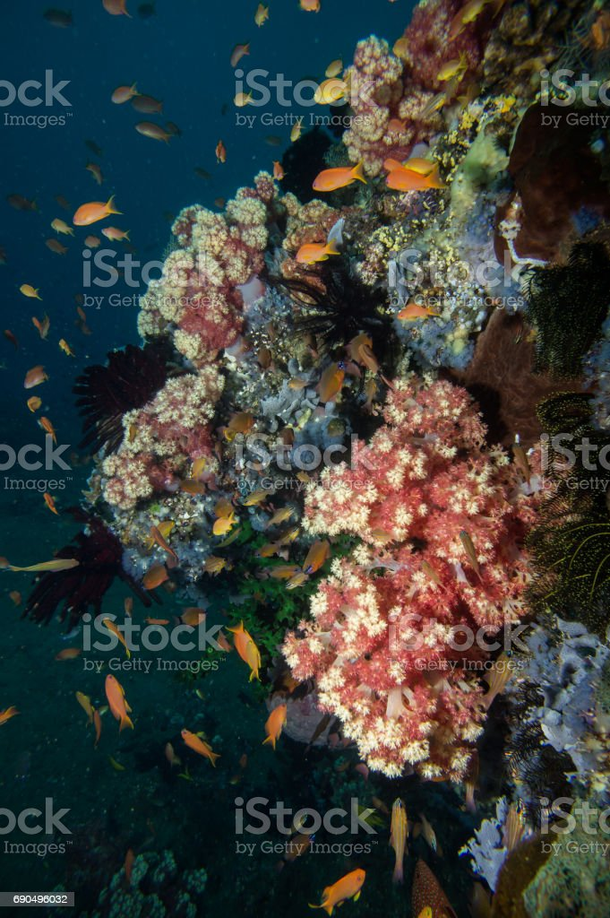 Beautiful soft corals of many colors grow on the reefs. stock photo
