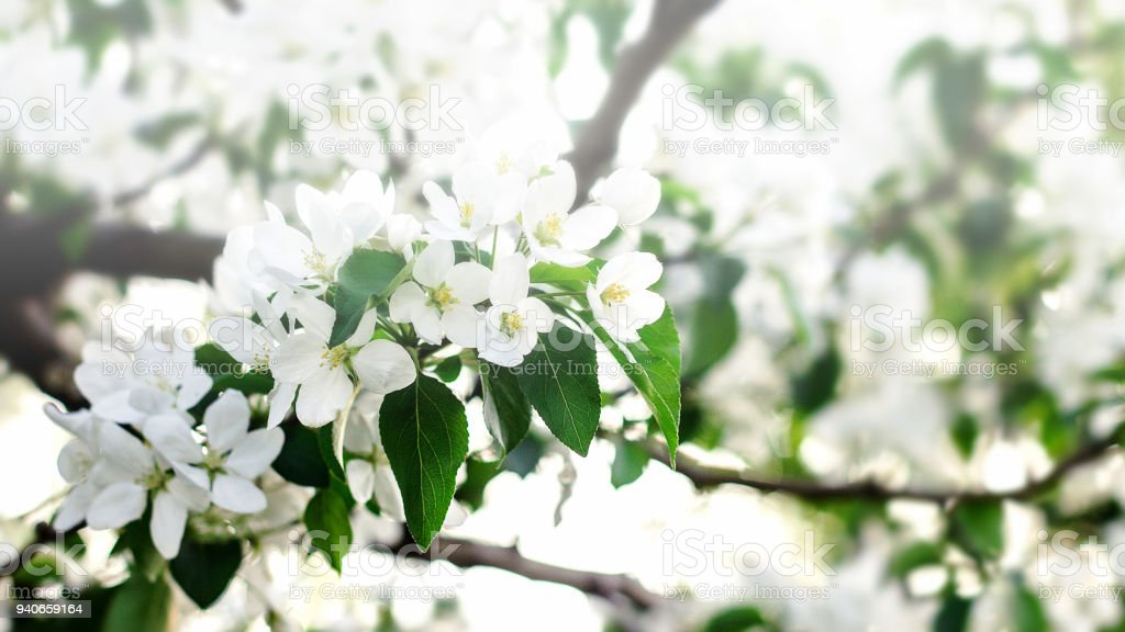 Beautiful soft focus photo of spring flowers on magically lighted background. Blooming tree in spring with white flowers stock photo