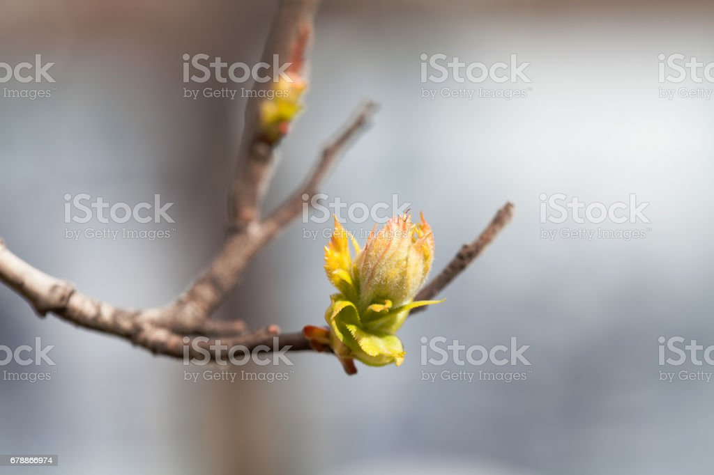 Beautiful soft tender spring tree branch with young greenery leaves. Shallow depth of field, selective focus. Abstract background photo libre de droits
