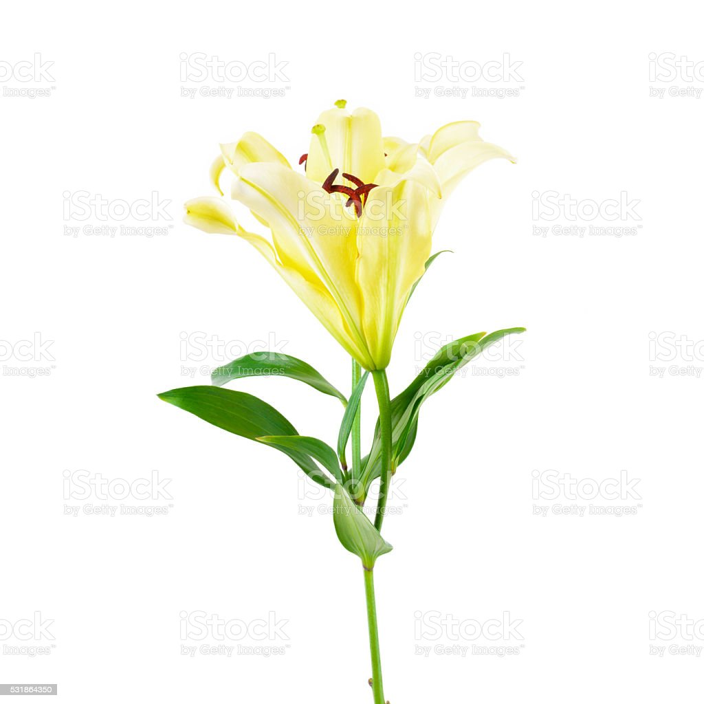 Beautiful Soft Yellow Lily Flowers Stock Photo More Pictures Of