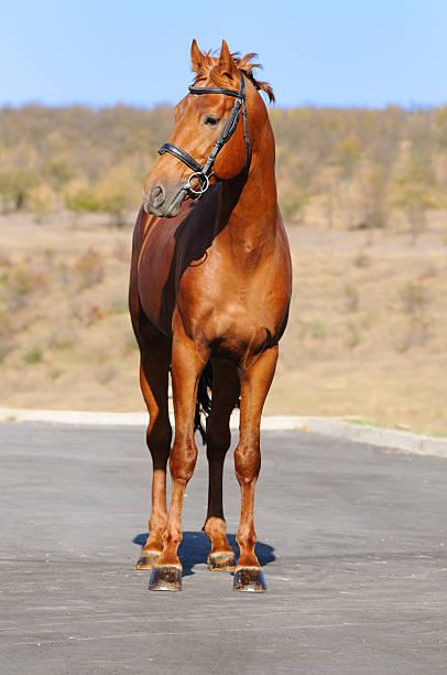 Wunderschöne Sauerampfer Pferd – Foto