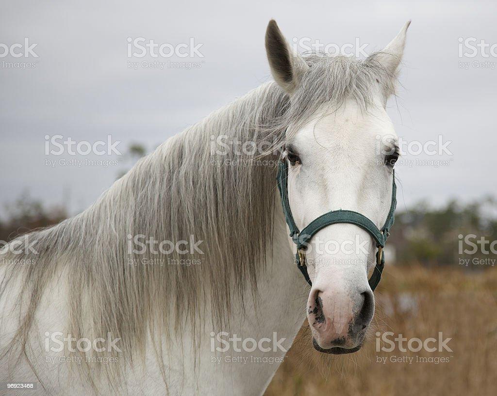 beautiful spanish horse royalty-free stock photo