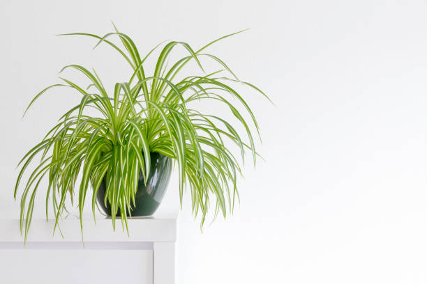 beautiful spider plant, Chlorophytum, isolated in a minimalist living room houseplant, Chlorophytum comosum in front of a light wall in a green pot houseplant stock pictures, royalty-free photos & images
