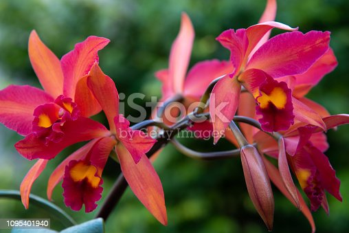 Beautiful sprays of Cattleya orchid flowers against a blurred green background.