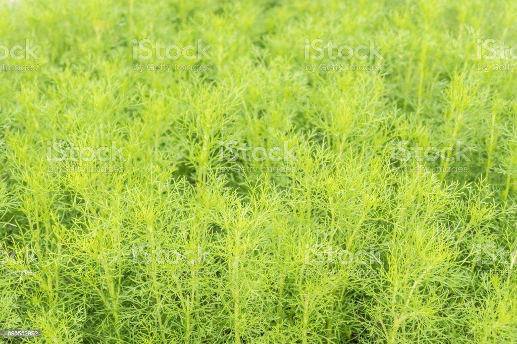 Beautiful Sprengeri Asparagus Fern Background stock photo