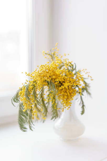 beautiful sprigs of mimosa in glass vase on windowsill. yellow sunny flowers on white table near the window - immagini mimosa 8 marzo foto e immagini stock