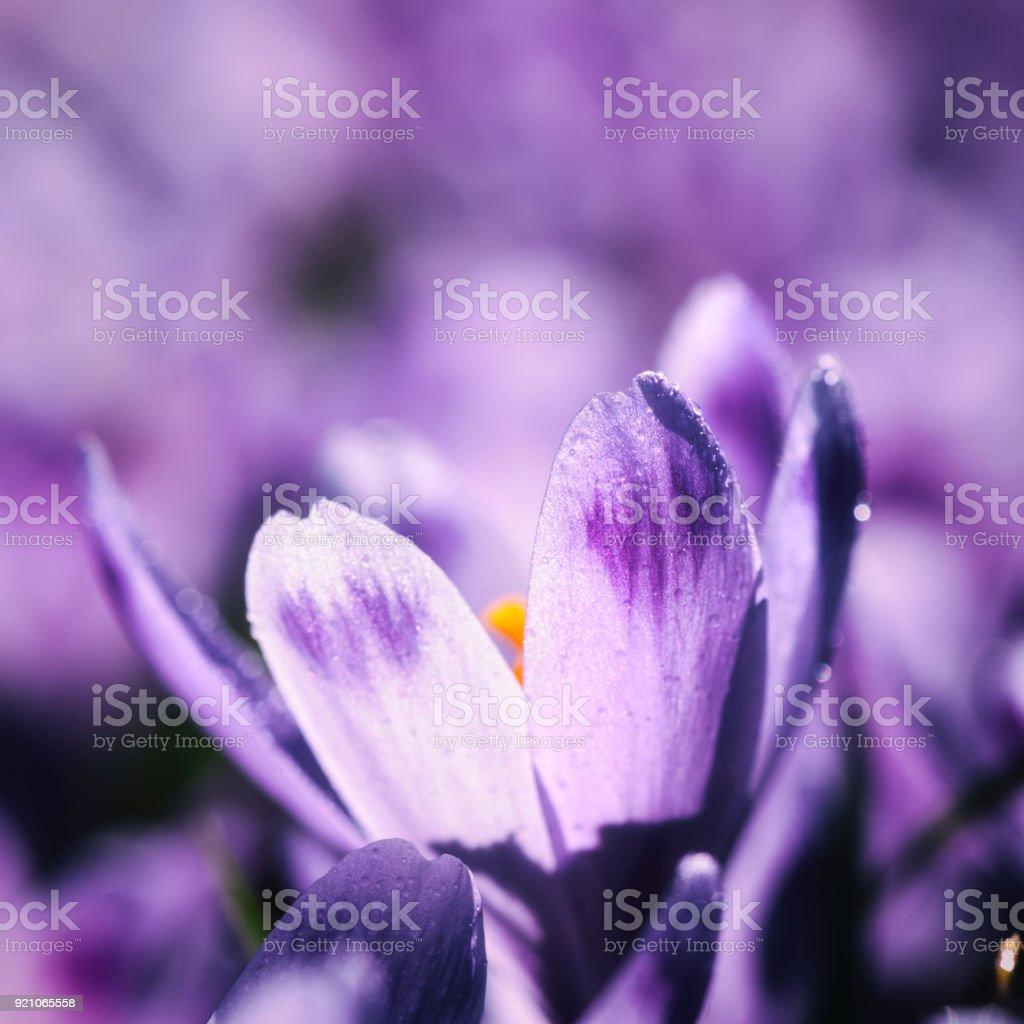 Schönen Frühling Hintergrund, lila Krokus oder Safran Blumen in der Natur – Foto
