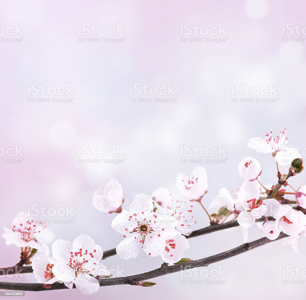 Beautiful spring blossom. royalty-free stock photo
