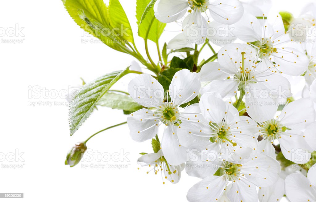 Beautiful spring blossoms close-up royalty-free stock photo