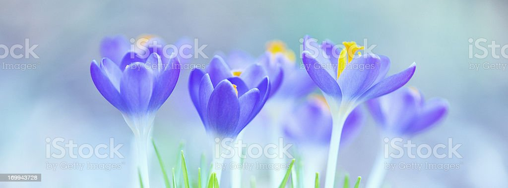 Beautiful Spring Crocus flowers royalty-free stock photo