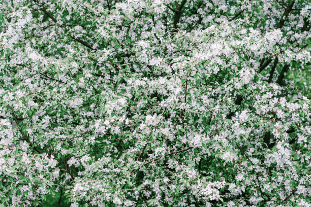 Beautiful spring flower background. Blossoming white flower on branch apple tree stock photo