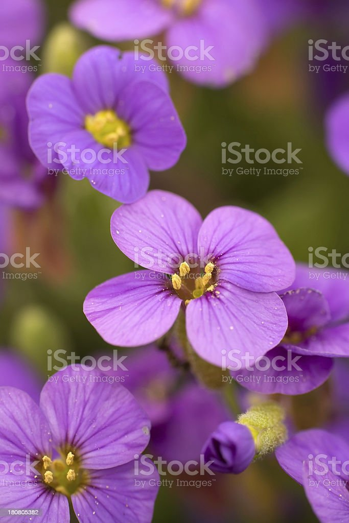 Beautiful Spring Flower - Close up royalty-free stock photo
