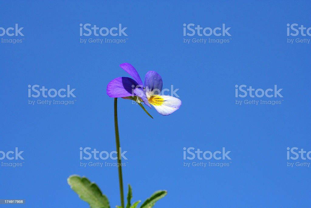 Beautiful Spring Flower on Blue Sky Background - Close up royalty-free stock photo
