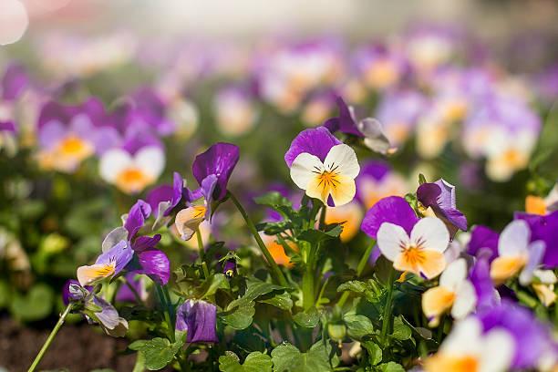 beautiful spring flower scene - byakkaya stok fotoğraflar ve resimler
