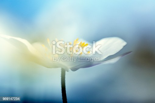 Beautiful spring flower wood anemones from sweden