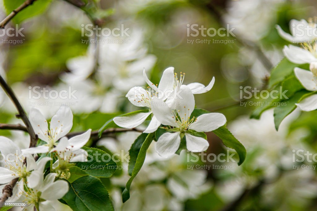 Beautiful Spring Flowering Branches Of Trees With White Flowers