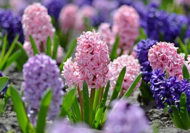 화창한 따뜻한 날에 아름다운 봄 꽃 히아신스 도시 화단, 앵초, 봄 개념에 피는 - 히아신스 뉴스 사진 이미지