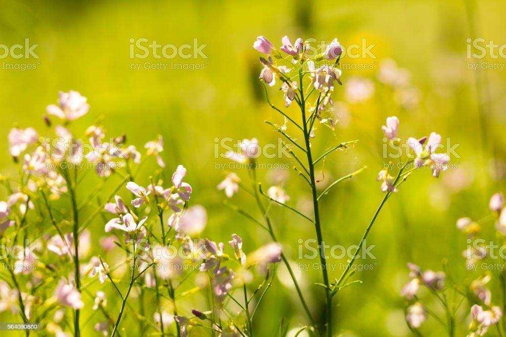 朝の光の美しい春の花。 - まぶしいのロイヤリティフリーストックフォト