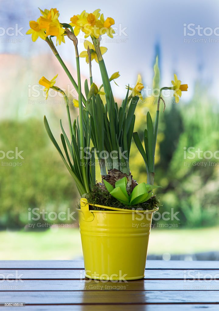 beautiful spring flowers in yellow kible stock photo