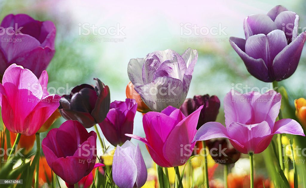 Beautiful tulips in the garden, different varieties and colors