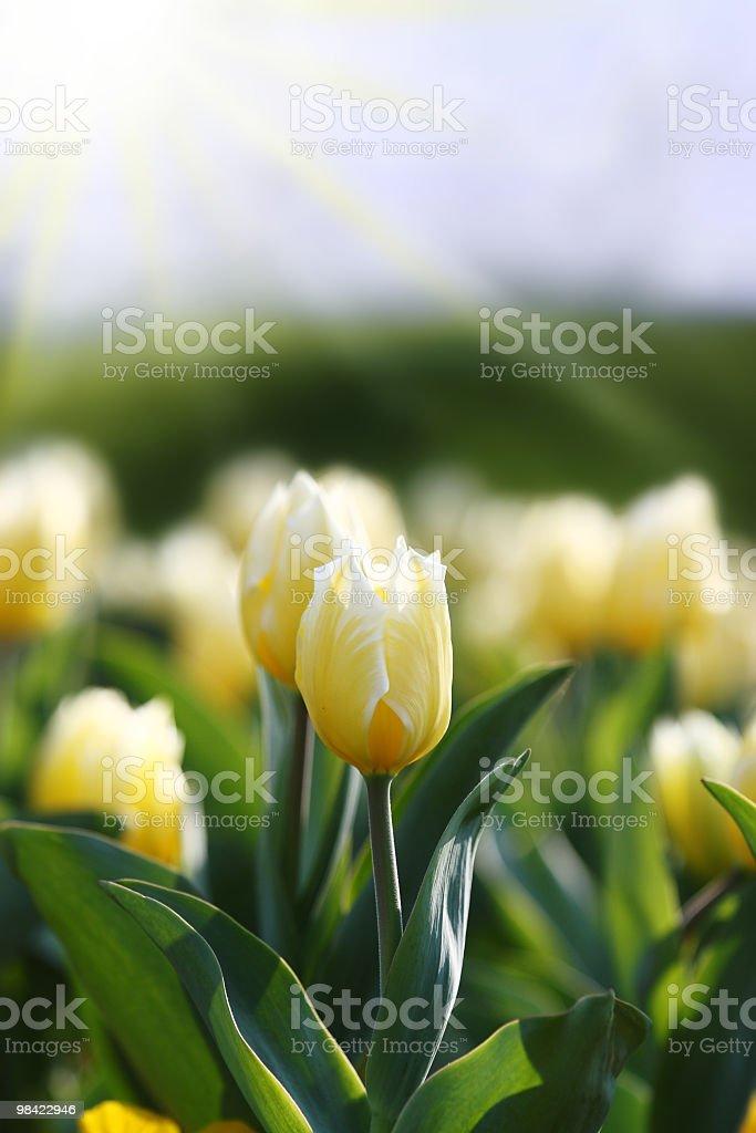 Beautiful spring flowers royalty-free stock photo