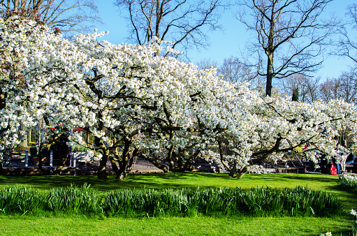 Beautiful Spring Landscape With White Flowering Fruit Trees In The Royal Flower Garden In Keikencoffi Netherlands Stock Photo Download Image Now Istock