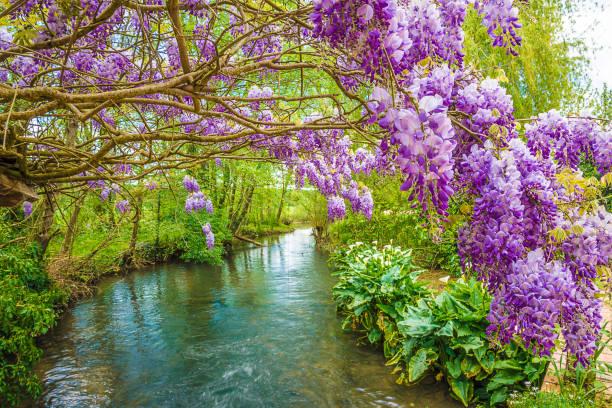 schöne frühlingslandschaft mit glyzinien - blauregen stock-fotos und bilder