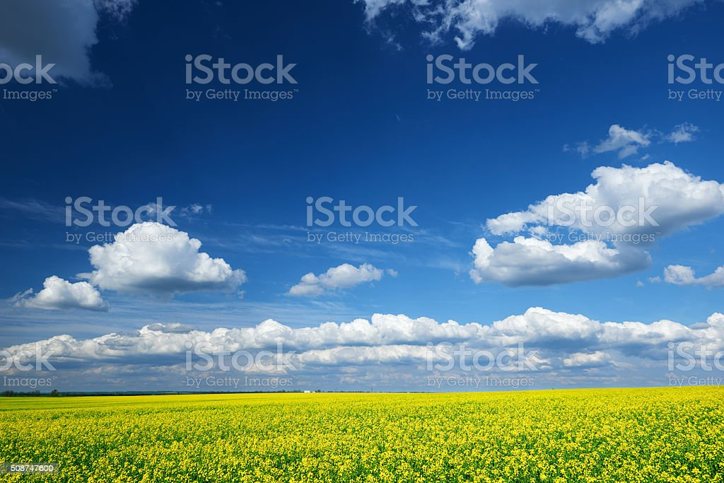 Beautiful spring landscape, yellow flower in rapeseed field stock photo