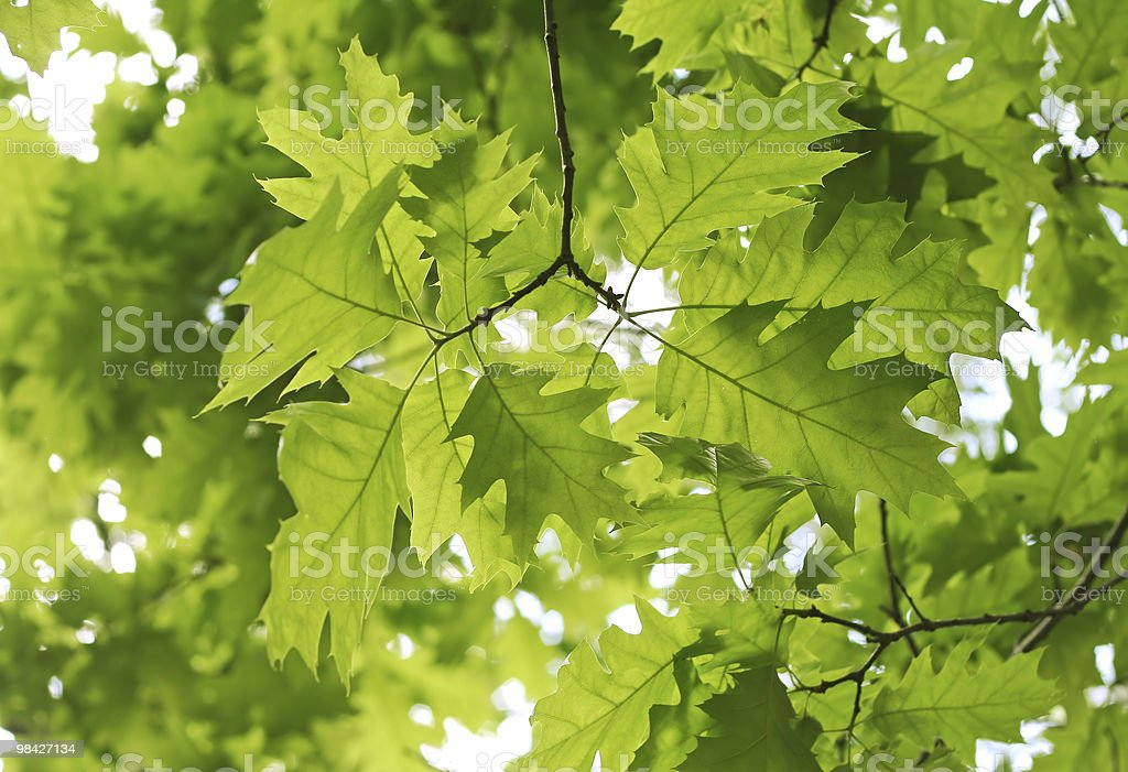 Beautiful spring leaves royalty-free stock photo