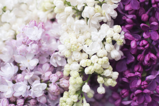 Beautiful spring lilac texture background stock photo