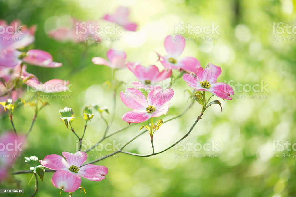 Beautiful spring pink dogwood flower blossoms stock photo
